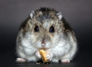 hamster grignotte