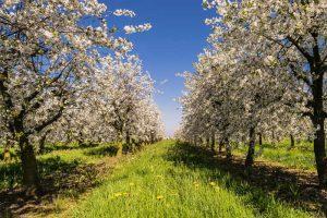 blossom-spring
